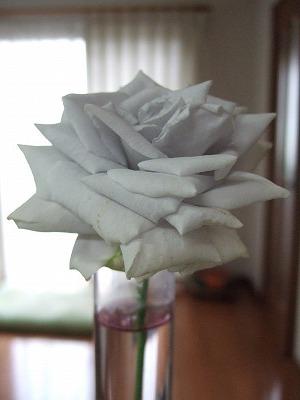 青くないバラ